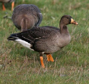 greenland-white-fronted-goose